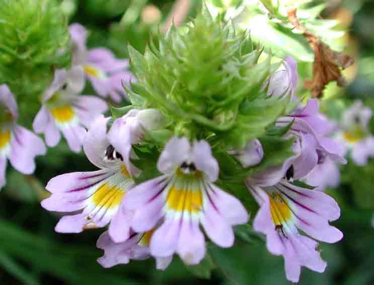 Risultati immagini per fiore eufrasia