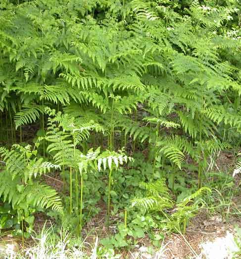 Pteridium aquilinum - La felce pianta ...