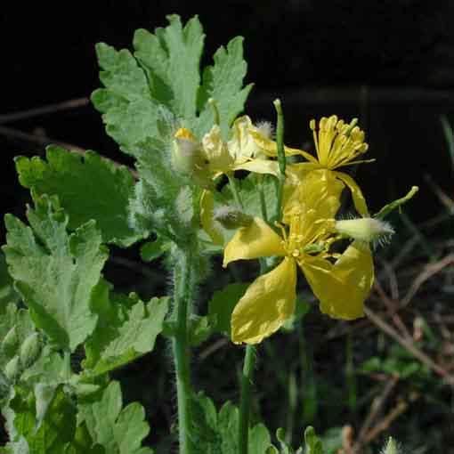 Fiori Gialli Per Verruche.Celidonia