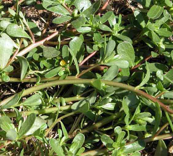 Portulaca oleracea for Portulaca commestibile
